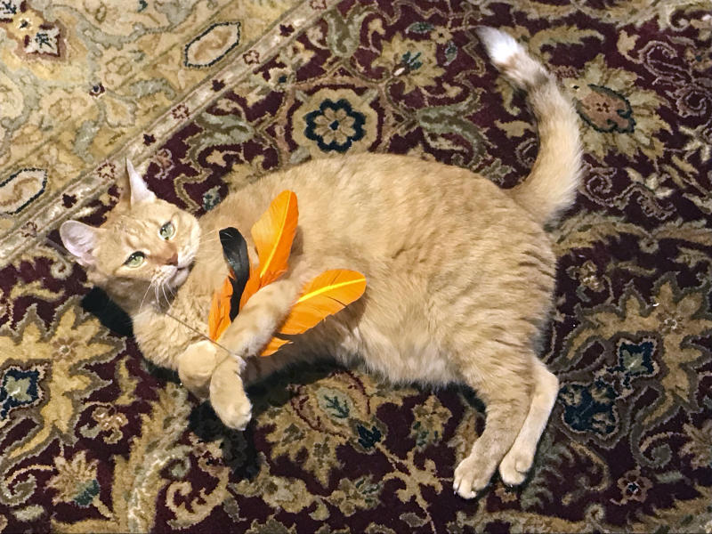 """In this July 31, 2018 photo provided by Kathrine Varnes, Wheel tackles a feather toy in her home in Larchmont, N.Y. To protect bird populations, as well as the cats that prey on them, both bird and cat experts urge cat owners to keep their felines indoors, on leashes or in """"catios."""" (Kathrine Varnes via AP)"""