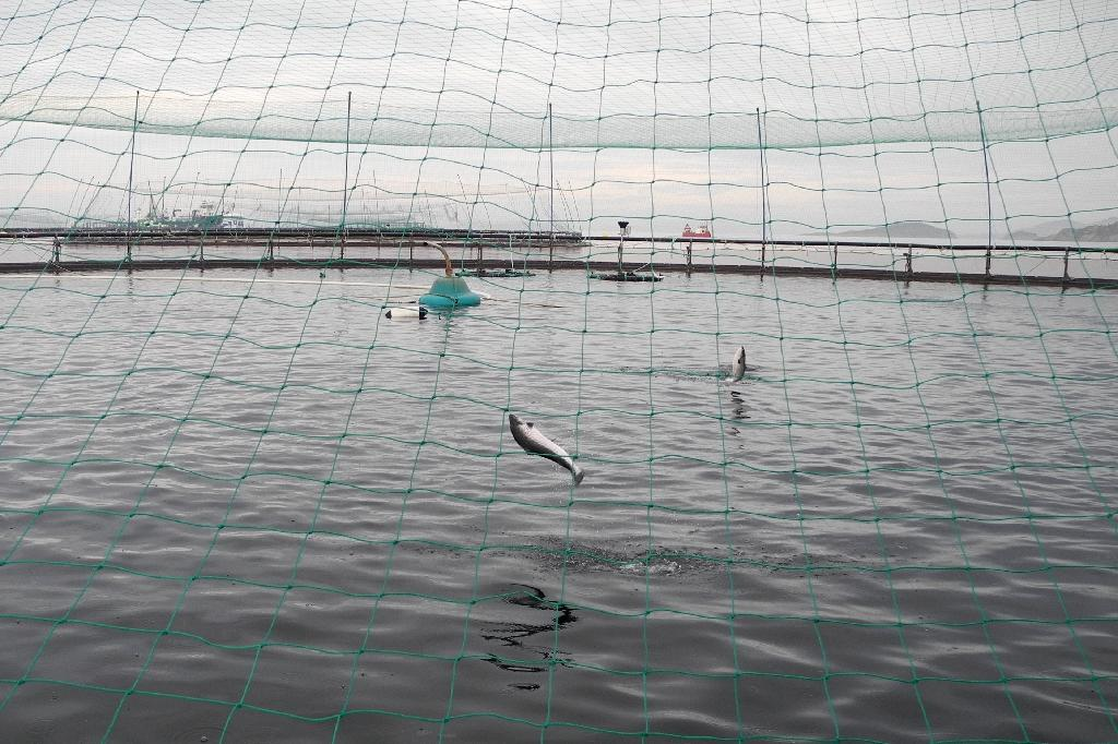 Salmons are seen at their open sea circular nets farming area at Norwegian seafood supplier Leroy's aquaculture plant in Hitra Bay, west of Trondheim (AFP Photo/Céline SERRAT)