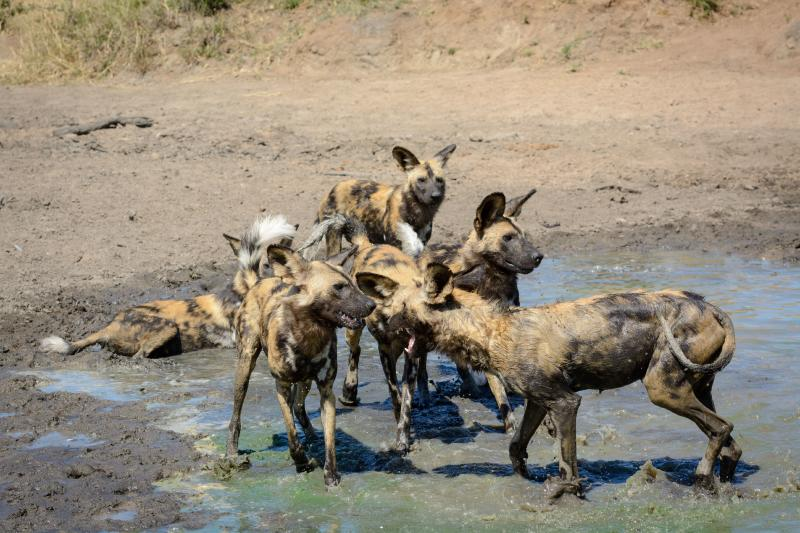 African wild dog, African hunting dog, African painted dog, cape hunting dog, wild dog or painted wolf, Lycaon pictus, playing at a waterhole, Limpopo Province, South Africa. (Photo by: Education Images/Universal Images Group via Getty Images)