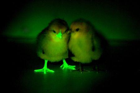 Handout photo of a baby chick, genetically modified to block transmission of bird flu, glows under an ultraviolent light, next to a chick that has not been modified