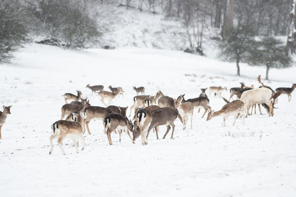 Deer in the snow at Knole Park Kent. (SWNS)