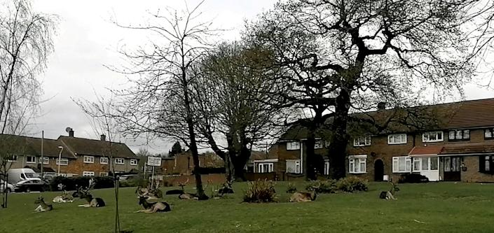 A herd of deer decided to rest in a housing estate in Harold Hill, Romford, east London. (SWNS)