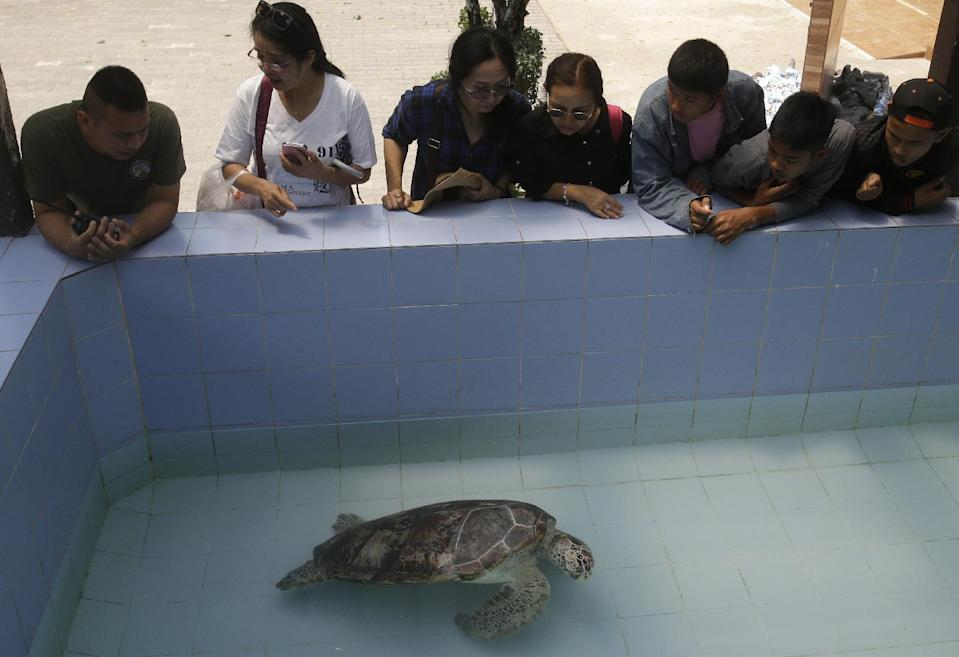 """In this Friday, March 3, 2017 photo, people watch the female green green turtle nicknamed """"Bank"""" swim in a pool at Sea Turtle Conservation Center n Chonburi Province, Thailand. Veterinarians operated Monday, March 6, 2017, on """"Bank,"""" removing less than 1,000 coins from the endangered animal. Her indigestible diet was a result of many tourists seeking good fortune tossing coins into her pool over many years in the eastern town of Sri Racha. (AP Photo/Sakchai Lalit)"""