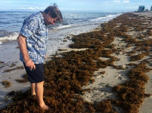 """Steve Leatherman, aka """"Dr. Beach,"""" walks along the sargassum in search of Brazilian seeds he says often come ashore brought by the seaweed"""