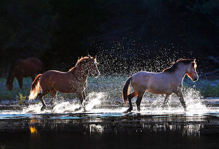 Wild horses splash in the Salt River in the Tonto National Forest near Mesa on  April 13, 2019.