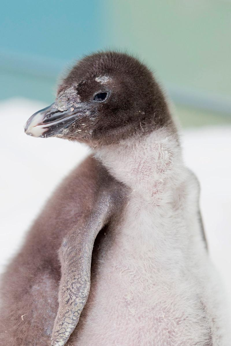 This June 18, 2013, photo provided by the Shedd Aquarium in Chicago shows a rockhopper penguin chick that was hatched at the aquarium on June 12, 2013. (AP Photo/Shedd Aquarium, Brenna Hernandez)