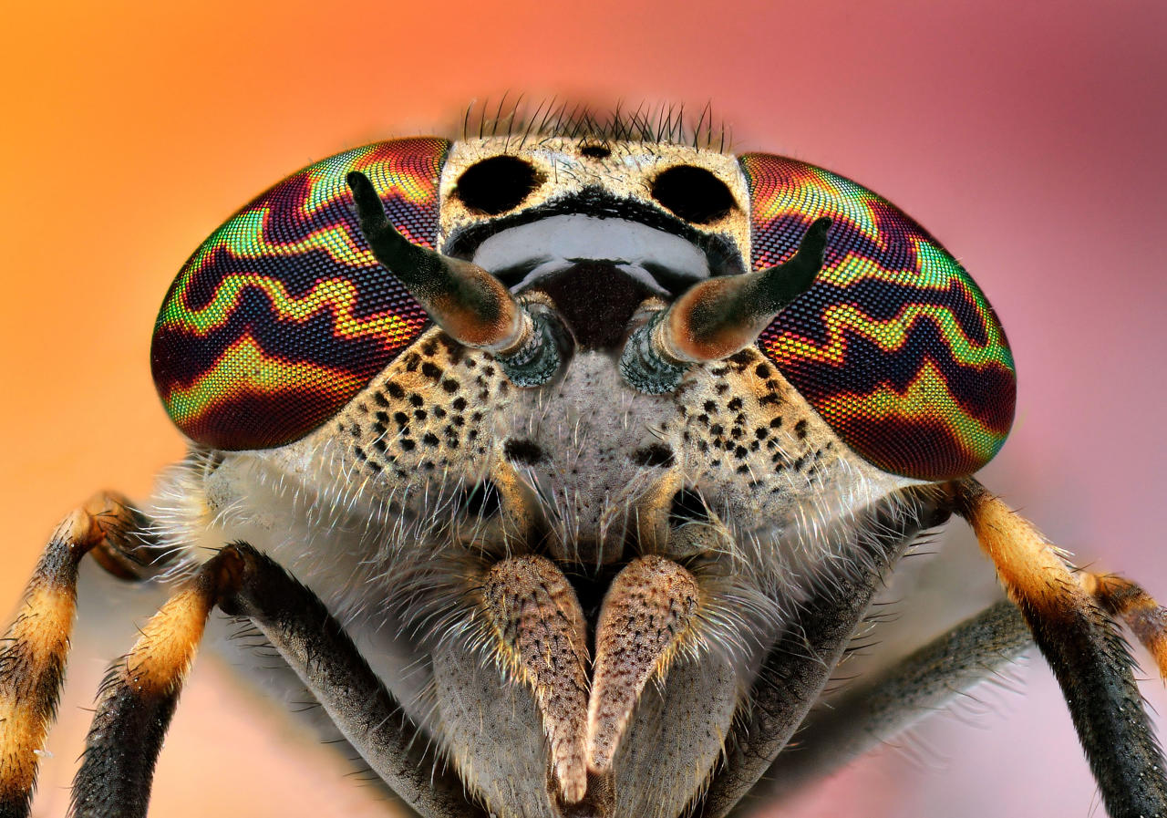 PIC BY IRENEUSZ IRASS WALEDZIK / CATERS NEWS - (PICTURED A bug in shutter shades) - RAP your eyes around these stunning shots of insects which look like mini KANYE WASPS wearing funky shades. In the iconic music video for Stronger Kanye famously wore quirky shutter shades which he may have got inspiration from these insects it looks like. In incredible technicolour these wasps and flies have taken eyewear to another level with their prism-filled peepers. Photographer Ireneusz Irass Waldzik, 29, from Poland, used highly detailed macro photographer. SEE CATERS COPY.