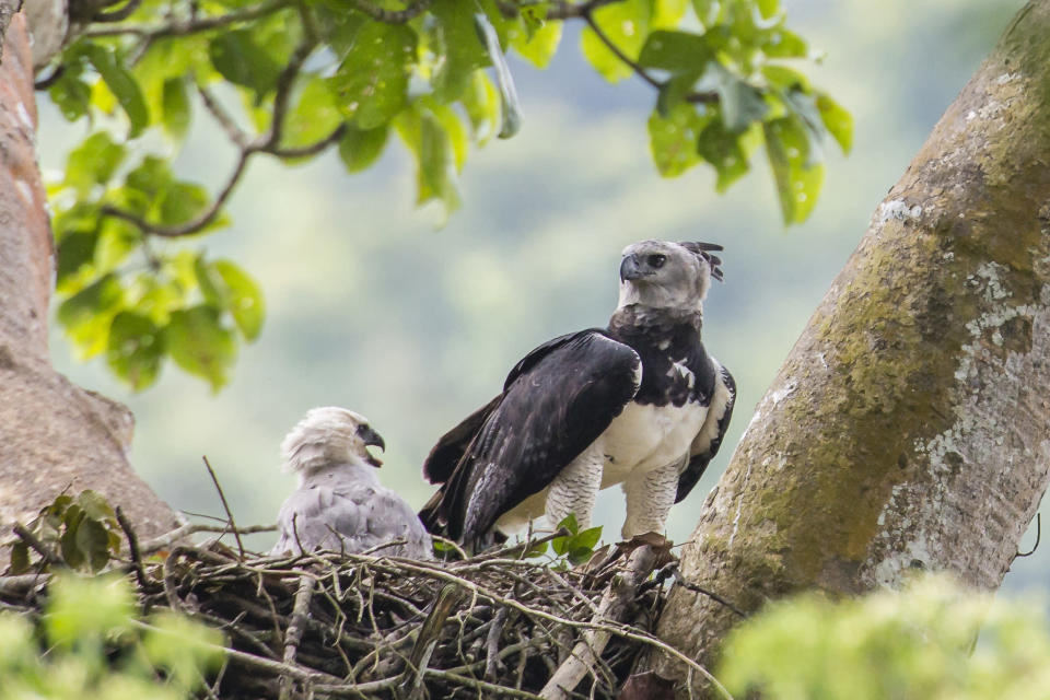 This June 2013 photo provided by Carlos Navarro shows a female harpy eagle and its young in a nest in Darién Province, Panama. Harpy eagles were once widespread throughout southern Mexico and Central and South America, but deforestation has dramatically shrunk their range. (Carlos Navarro via AP)