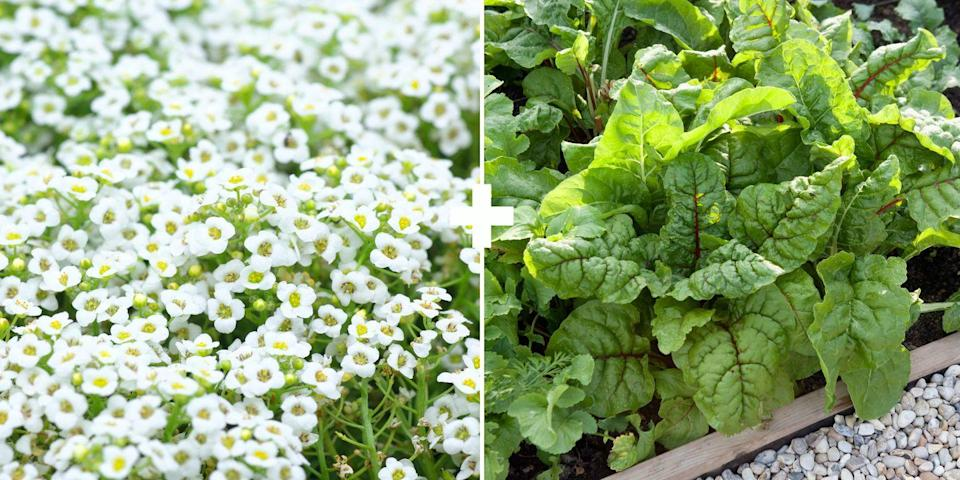 "<p>Alyssum is an annual that's easy to grow from seed in between rows of vegetables. ""It's a big attractor of hover flies, which are beneficial insects that control aphids,"" says Stross. Plant pretty Swiss chard as a border, interspersed with these delicate low-growing flowers.<br></p>"