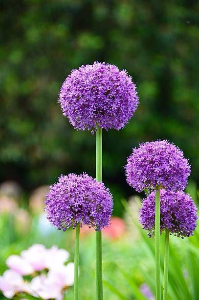 """<p>These tall ball-shaped flowers make quite the statement in your garden! The foliage will begin to wilt after they bloom in late spring, so plant them with other perennials to hide the fading leaves. They're actually an ornamental onion so you don't have to worry about critters digging them up. Plant them somewhere they'll get full sun.</p><p><a class=""""link rapid-noclick-resp"""" href=""""https://www.bluestoneperennials.com/ALLB"""" rel=""""nofollow noopener"""" target=""""_blank"""" data-ylk=""""slk:SHOP ALLIUMS"""">SHOP ALLIUMS</a></p>"""