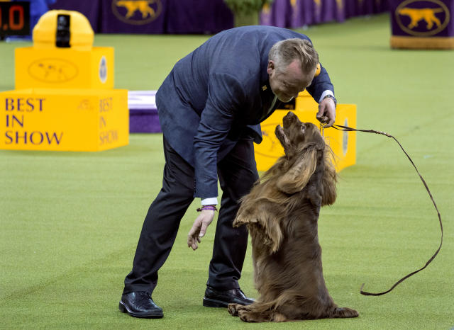 Bean, a Sussex spaniel, sits up while performing while handled by Per Ingar Rismyhr as they participated in the Best in Show round of the 142nd Westminster Kennel Club Dog Show, Tuesday, Feb. 13, 2018, at Madison Square Garden in New York. (AP Photo/Craig Ruttle)