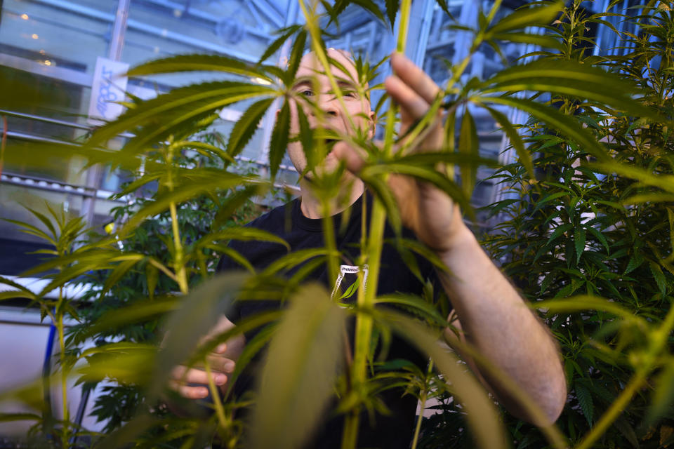 University of Connecticut grad student Peter Apicella works with a cannabis plant in a UConn greenhouse growing THC-free hemp. UConn began teaching a marijuana horticulture class this semester. (Mark Mirko/Tribune News Service via Getty Images via Getty Images)