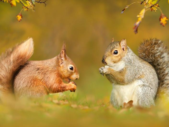Grey squirrels pass on the fatal 'squirrel pox' to red squirrels (Getty)
