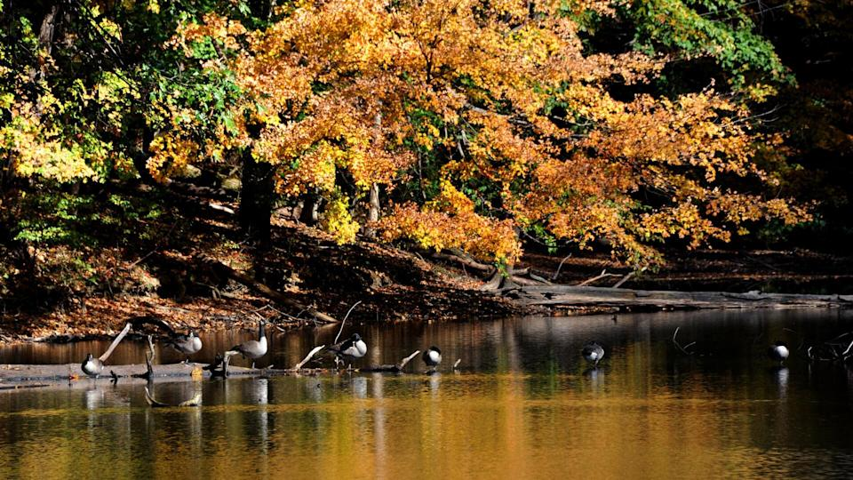 Log, on Poplar Tree Lake, serves as resting place for a flock of Canadian Geese in Meeman Shelby Forest State Park outside of Memphis, Tennessee.