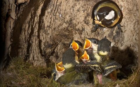 Great Tit (Parus major), parent bird with chicks at nest - Credit: WILDLIFE GmbH/Alamy
