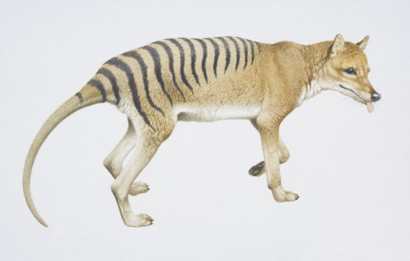 An artist's illustations of a thylacine. Source: Getty