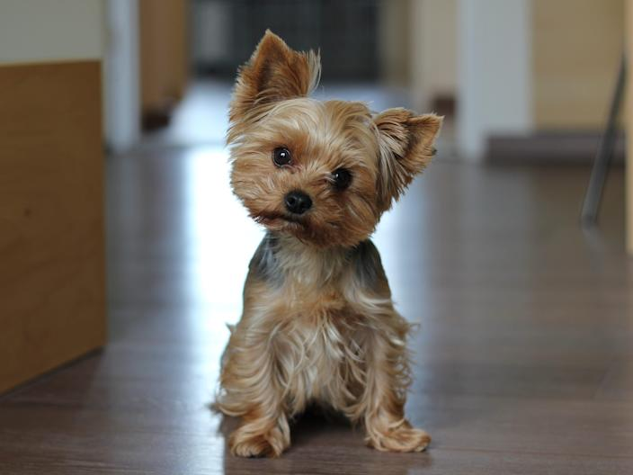 confused dog yorkie Yorkshire terrier
