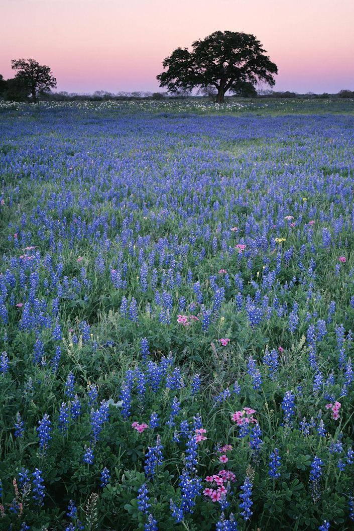 <p><strong>Where: </strong> Texas Hill Country, Texas</p><p><strong>Why We Love It: </strong>The countryside west of Austin and north of San Antonio explodes in a riot of colorful Texas Bluebonnets every April.</p>