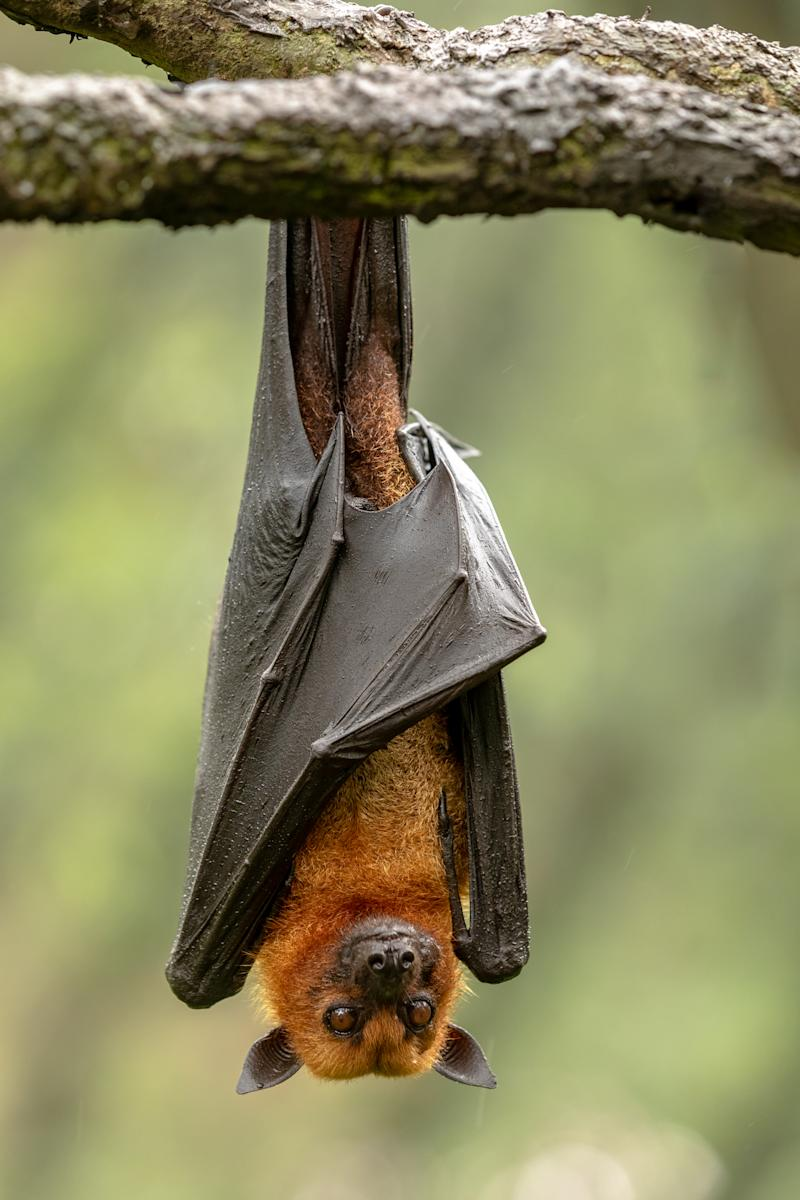 Large Malayan Flying Fox, Pteropus Vampyrus, Bat Hanging From A Branch
