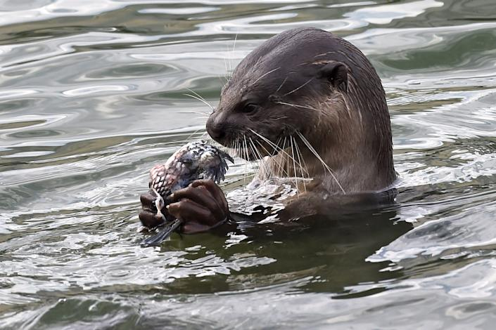 Otter grabbing fish in the river