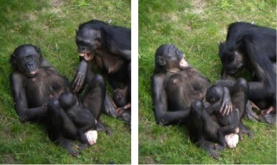 Bonobos Catch Yawns from Friends