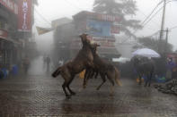 Two packhorses playfully jostel each other in the rain-soaked main town square of Dharmsala, India, Friday, Sept. 17, 2021. (AP Photo/Ashwini Bhatia)