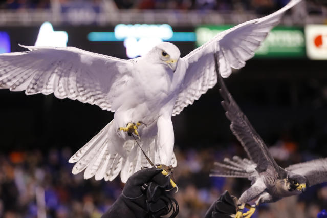 The Air Force mascot, a 22-year-old gyrfalcon, has suffered potentially life-threatening injuries after a prank leading up to its rivalry matchup against Army. (AP Photo/Otto Kitsinger)