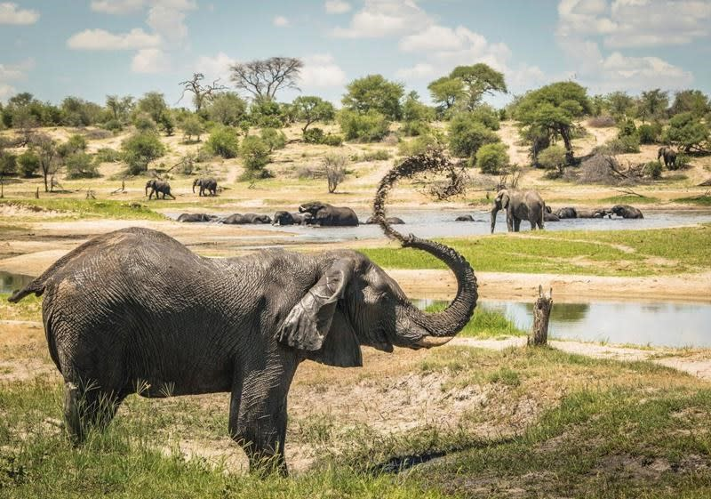 Once seen as loners, male elephants shown to follow elders