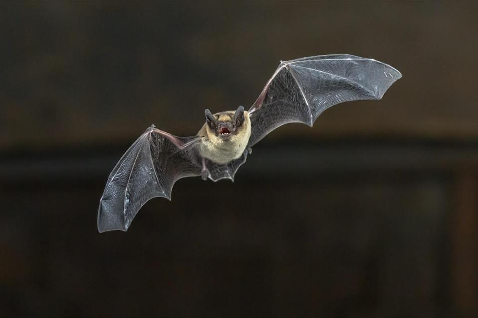 bat (Pipistrellus pipistrellus) flying on wooden ceiling of house