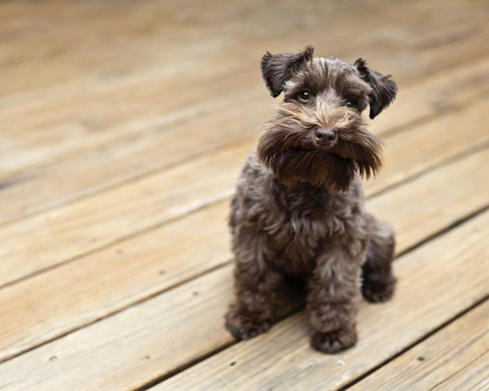 """<p>Schnauzers were originally bred to work on German farms, and are now known as amazing companion dogs. Playful, protective, and easy to groom, they're energetic <a href=""""https://www.womansday.com/life/pet-care/g946/pet-gifts/"""" rel=""""nofollow noopener"""" target=""""_blank"""" data-ylk=""""slk:family dogs"""" class=""""link rapid-noclick-resp"""">family dogs</a> through and through. And while Dog Time rates them a 5/5 for wanderlust, they score <a href=""""https://dogtime.com/dog-breeds/standard-schnauzer#/slide/1"""" rel=""""nofollow noopener"""" target=""""_blank"""" data-ylk=""""slk:an ideal 1/5 for shedding"""" class=""""link rapid-noclick-resp"""">an ideal 1/5 for shedding</a>.</p>"""