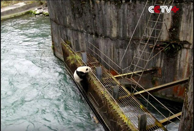 The panda was trapped for several hours. Source: CCTV
