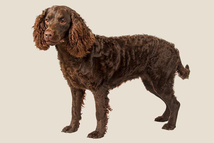 """<p>Another group of students, this time an eighth grade class, worked to designate the <a href=""""https://www.akc.org/dog-breeds/american-water-spaniel/"""" rel=""""nofollow noopener"""" target=""""_blank"""" data-ylk=""""slk:American Water Spaniel"""" class=""""link rapid-noclick-resp"""">American Water Spaniel</a> as the official state dog, which was passed in 1985. American Water Spaniels have a tightly curled coat and webbed toes perfect for wading into the waters of the Great Lakes.</p>"""