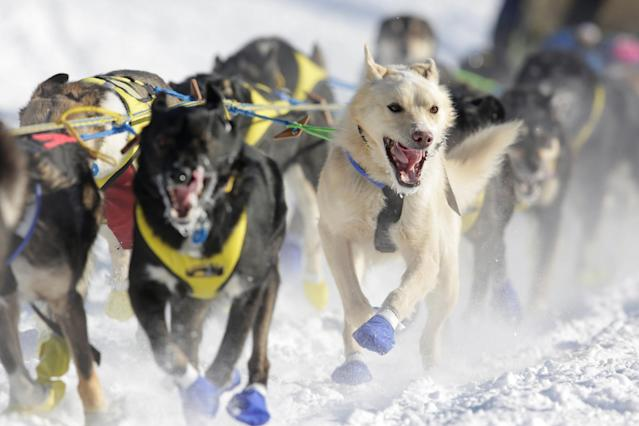 <p>A team competes in the official restart of the Iditarod, a nearly 1,000 mile (1,610 km) sled dog race across the Alaskan wilderness, in Fairbanks, Alaska, U.S. March 6, 2017. REUTERS/Nathaniel Wilder </p>