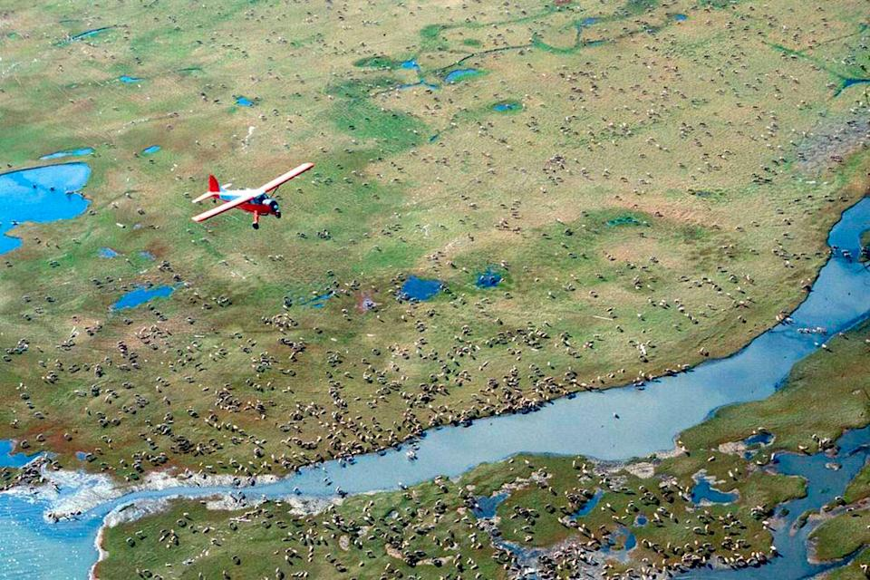 An airplane flies over caribou from the Porcupine Caribou Herd on the coastal plain of the Arctic National Wildlife Refuge in northeast Alaska. (Photo: U.S. Fish and Wildlife Service via AP)