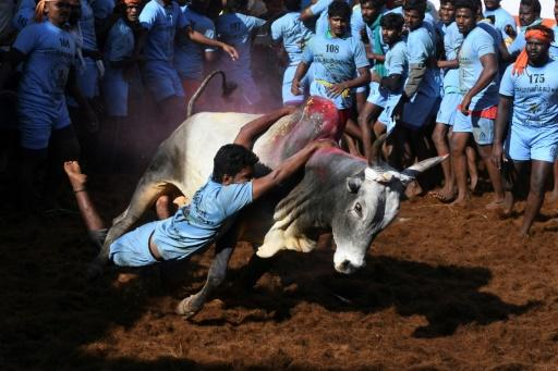 On the opening day of the bull-taming festival in India's Madurai city, more than 20 men were injured