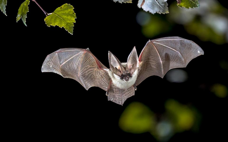 Flying bat hunting in forest. The grey long-eared bat (Plecotus austriacus) is a fairly large European bat. It has distinctive ears, long and with a distinctive fold. It hunts above woodland, often by day, and mostly for moths.