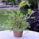 """<p>This miniature bush can be grown in a pot and was described by the RHS as """"remarkable"""" and """"a breakthrough"""" for its compact size. </p><p><a class=""""link rapid-noclick-resp"""" href=""""https://go.redirectingat.com?id=127X1599956&url=https%3A%2F%2Fwww.crocus.co.uk%2Fplants%2F_%2Fdwarf-mulberry-mojo-berry-matsunaga-pbr%2Fclassid.2000023873%2F&sref=https%3A%2F%2Fwww.goodhousekeeping.com%2Fuk%2Fhouse-and-home%2Fgardening-advice%2Fg29622497%2Fchelsea-flower-show-plant-of-the-year-winners%2F"""" rel=""""nofollow noopener"""" target=""""_blank"""" data-ylk=""""slk:BUY NOW"""">BUY NOW</a> <strong>from £11.99, Crocus</strong></p>"""