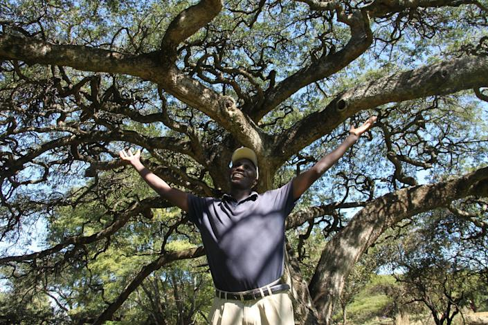 """In this photo taken Monday, June 3, 2013, green keeper Fibion Chikwaya stands beneath the century-old thorn tree with an umbrella-shaped canopy that offers shade to players on the 13th hole of Zimbabwe's oldest golf course, The Royal Harare Golf Club. The indigenous trees are to stay, but """"foreign"""" trees that were planted by early white settlers to remind them of their distant origins are now being rooted out. (AP Photo/Tsvangirayi Mukwazhi)"""