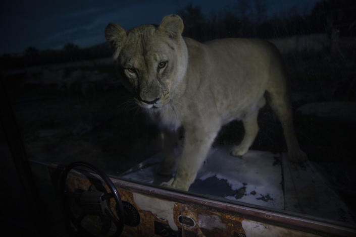 An Angola lion looks on as it stands behind a glass wall in Attica Zoological Park in Spata, near Athens, on Thursday, Jan. 21, 2021. After almost three months of closure due to COVID-19, Greece's only zoo could be approaching extinction: With no paying visitors or state aid big enough for its very particular needs, it still faces huge bills to keep 2,000 animals fed and healthy. (AP Photo/Petros Giannakouris)
