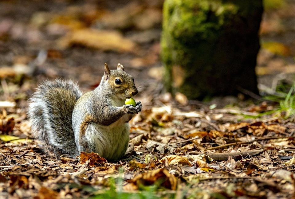 Grey squirrels were brought to Britain from North America in the 1870s and are blamed for the disappearance of native red squirrels (Peter Byrne/PA) (PA Archive)