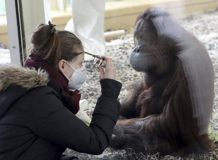 A visitor with a masks observes an orangutan in an enclosure at the Schoenbrunn Zoo in Vienna, Austria, Monday, Feb. 8, 2021. Visitors can visit the zoo again after 97 days lock down. The Austrian government has moved to restrict freedom of movement for people, in an effort to slow the onset of the COVID-19 coronavirus. (AP Photo/Ronald Zak)