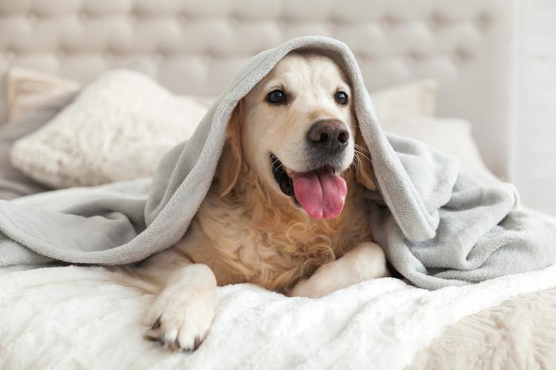 A dog under a blanket.