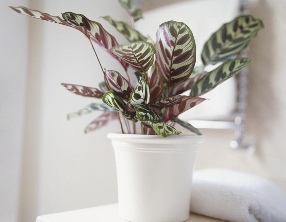 <p>Its patterned leaves (in colors like rose, white, and yellow) makes this plant a welcome addition to any room — and too much direct light might actually fade its lovely markings.</p>