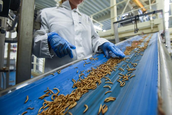 """An employee checks worms before they are being turned into protein powder at the """"Ynsect"""" experimental insect farm in Dole, eastern France, on February 8, 2018, a facility that produces premium proteins natural ingredients for aquaculture and pet nutrition. / AFP PHOTO / SEBASTIEN BOZON        (Photo credit should read SEBASTIEN BOZON/AFP/Getty Images)"""
