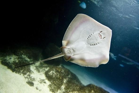 Baby stingrays born to London Aquarium females with no male contact for 2 years