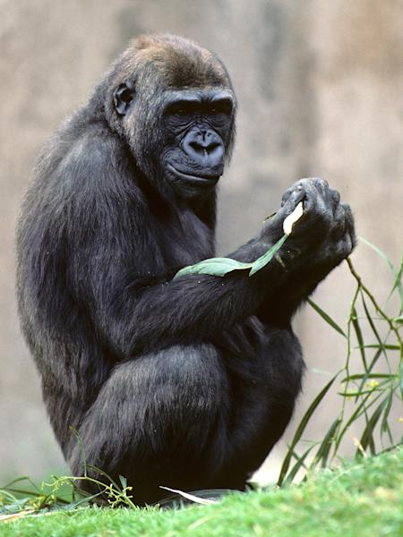 This undated image provided by San Diego Zoo Global shows a female western lowland gorilla named Kamilah, at the San Diego Zoo Safari Park in San Diego, Calif. Scientists recently published a draft of her DNA and compared it to the genetic blueprints of humans and chimpanzees to better understand how humans evolved. (AP Photo/San Diego Zoo Global)