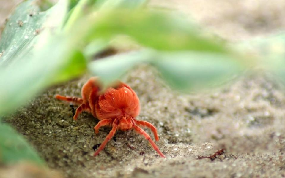 They're tiny, but everywhere. The truth behind these little red crawlies