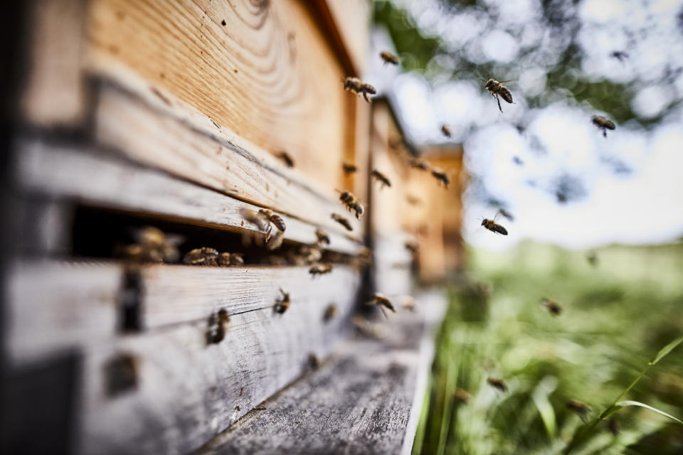 Honey bees flying into wooden beehives