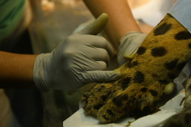 Greco the jaguar is treated for infection and inflammation of the bone at the National Zoo in El Salvador