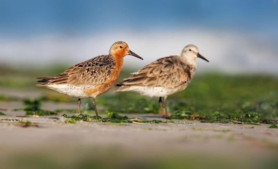 <p><strong>Red Knot - </strong>Known for having the longest distance migrations, the Red Knot is currently losing its New Jersey home due to sea-level rise and coastal urbanization. </p>